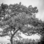 Couple stand by black and white wide-shot of tree in field